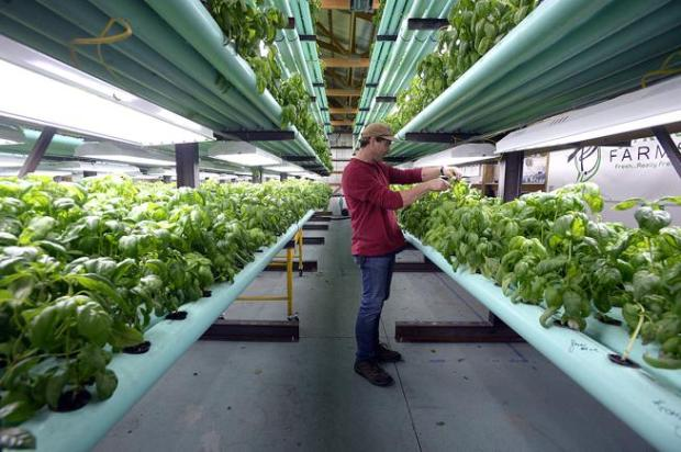 Jason Rider, co-owner of Fyn River Farms, clips basil from some plants Tuesday at the indoor farm on the outskirts of Loveland. Goldfish provide most of the nutrients for the hydroponically grown basil plants.