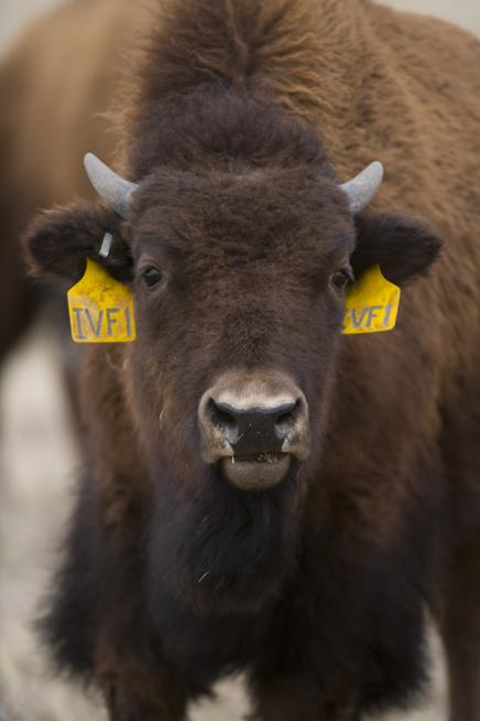 IVF 1 is the first bison calf conceived using in vitro fertilization, or IVF, at Colorado State University's Animal Reproduction and Biotechnology Laboratory. IVF 1 is also the first bison calf in the world to be conceived using reproductive material from animals removed from Yellowstone National Park.