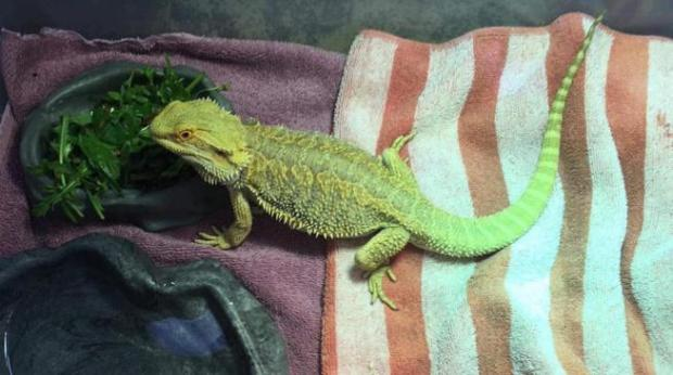 This bearded dragon was found in the area of Alpine Street and Third Avenue on Wednesday morning in Longmont.