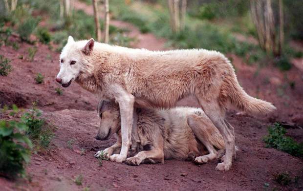 Two wolves at the Mission: Wolf sanctuary in Silver Cliff.