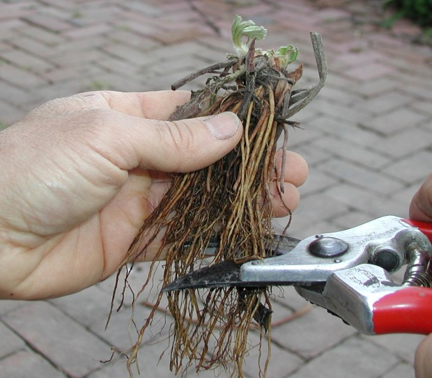 trimming plant roots