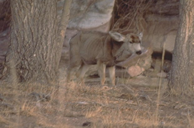 A Colorado mule deer suffering from the affects of chronic wasting disease. About 16 percent of male deer in some Colorado herds are infected with the disease, prompting state wildlife managers to enlist scientists and hunters to help slow progression of the prion-based infection.