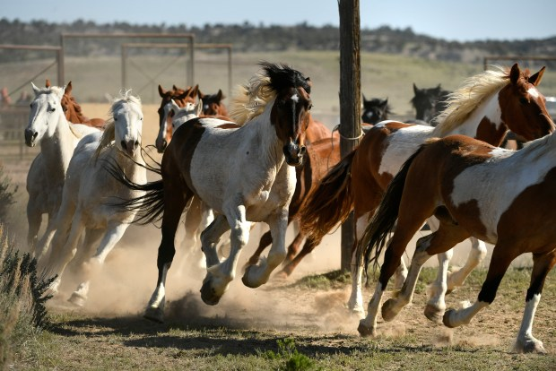 Hundreds of horses are driven into ...