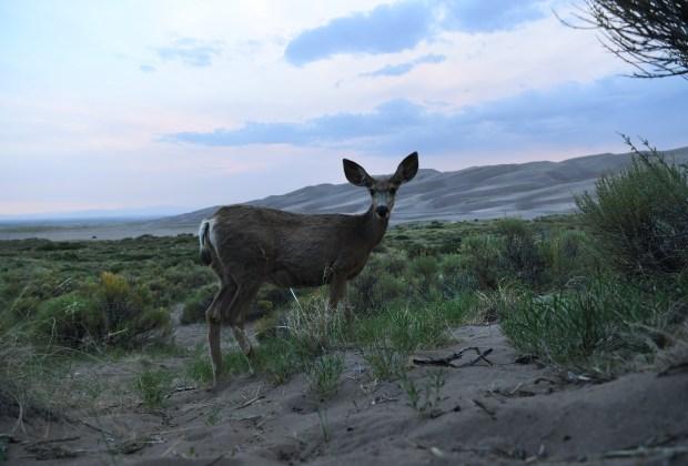A deer grazes on grasses at ...