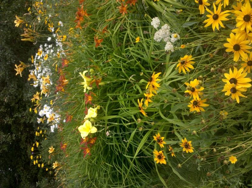 yellow rudbeckia and daylily