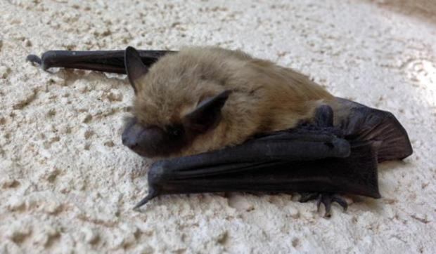 A rabid bat bit a woman in her Fort Morgan home on Wednesday morning.