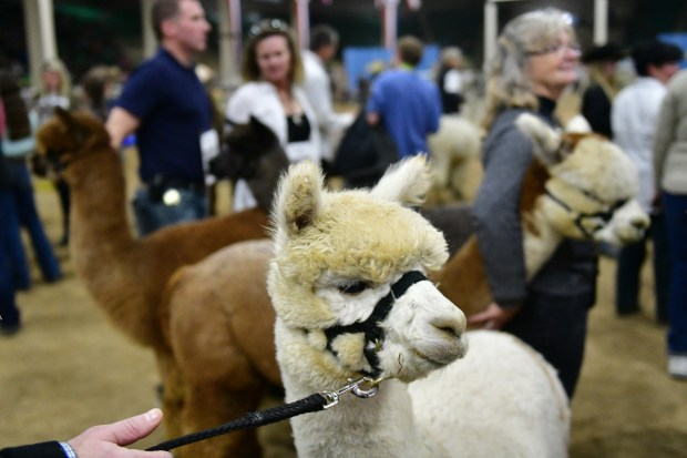 Alpacas are in Stadium Arena of ...