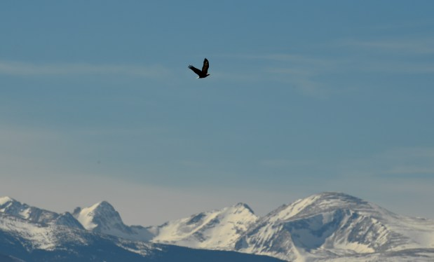 A bald eagle flies away from ...
