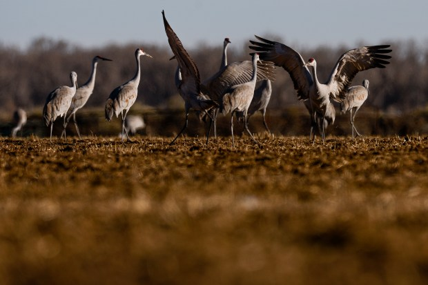 Sandhill Cranes dance as they feed ...
