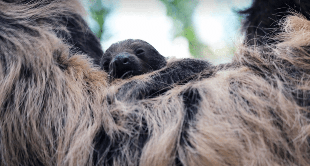 The Denver Zoo's new baby sloth is a boy, and you can help name it
