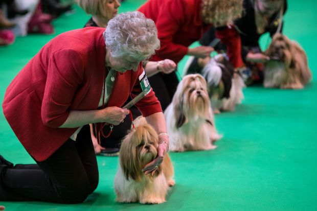 Shih Tzu dogs are shown on ...