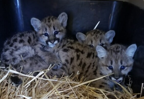 "Mountain lion cubs orphaned after ""human-wildlife conflict"" in Washington make Cheyenne Mountain Zoo their new home"
