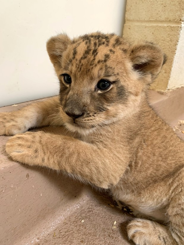 No, you can't take him home. But you can give the Denver Zoo's lion cub a name