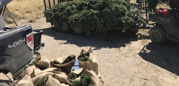 Nearly $5.8 million in marijuana destroyed after authorities raid 40 illegal grows in southern Colorado