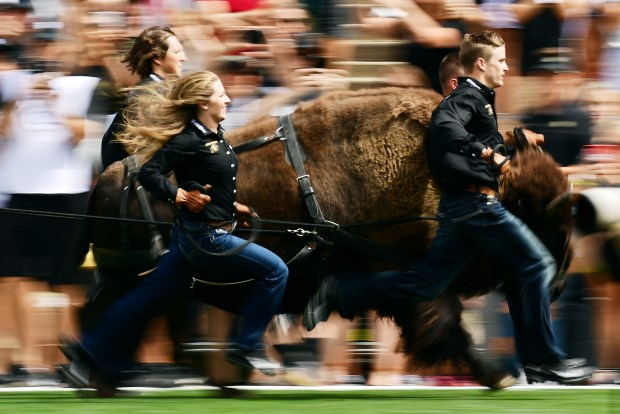 Ralphie the Buffalo running at CU ...