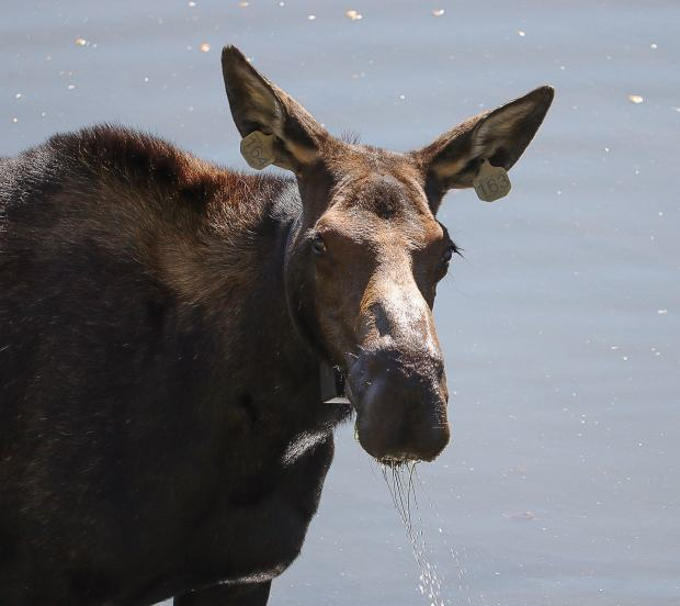 Colorado Parks and Wildlife investigating moose killing in Lake City and residents want answers