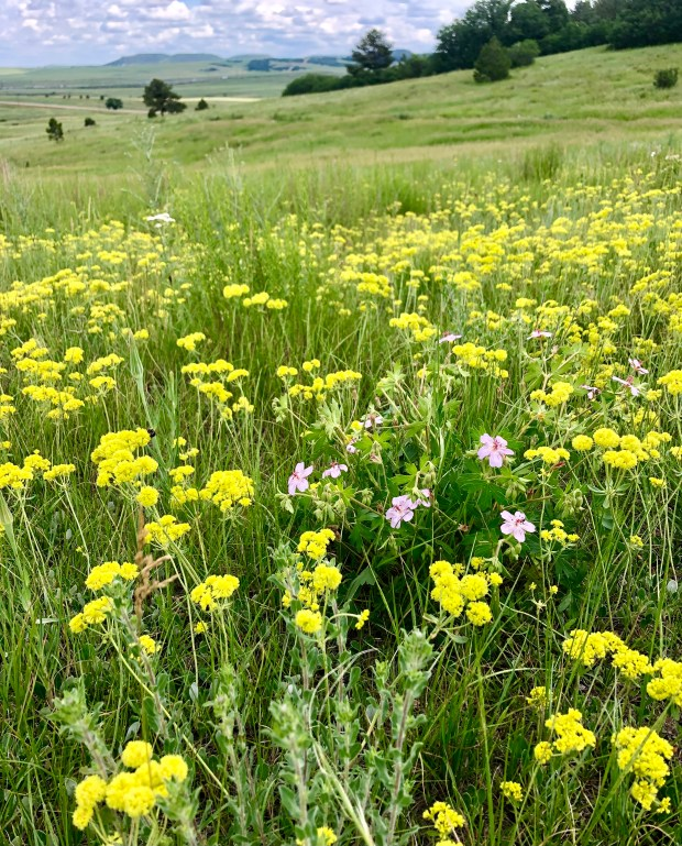 Sulfur Flowers in Douglas County Open ...