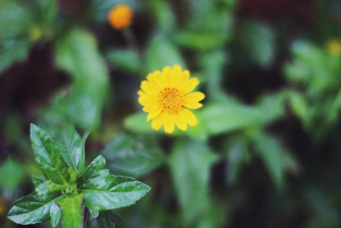 florzinha-amarela