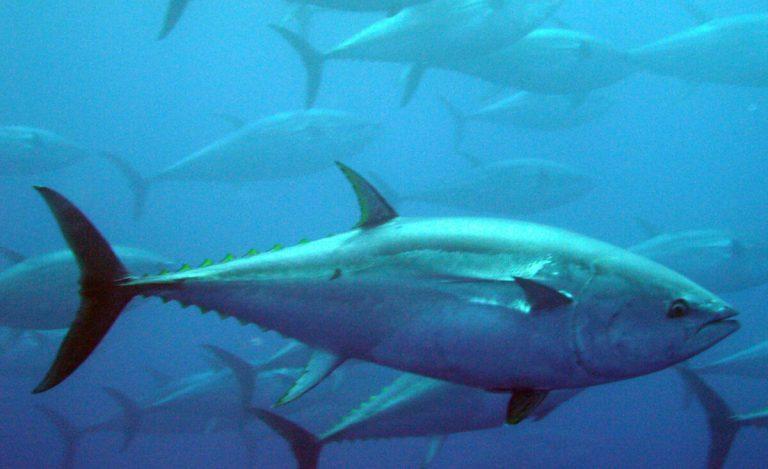 diferencias entre el bonito y el atún