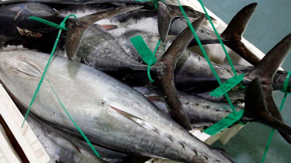 diferencias entre el bonito y al atún