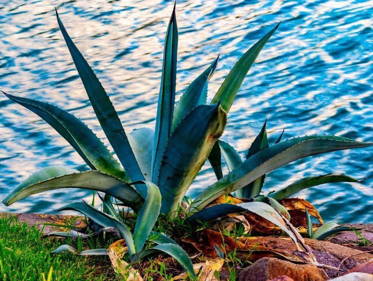 Descubre los beneficios del sirope de agave