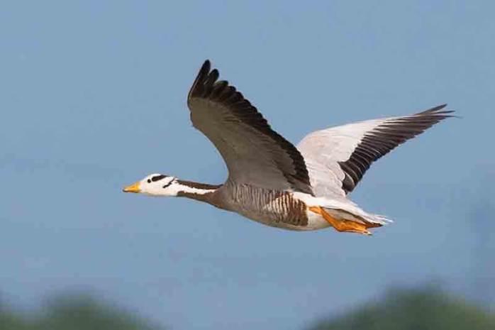 Bar-headed goose (29000 Feet)