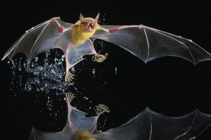 Greater bulldog bat