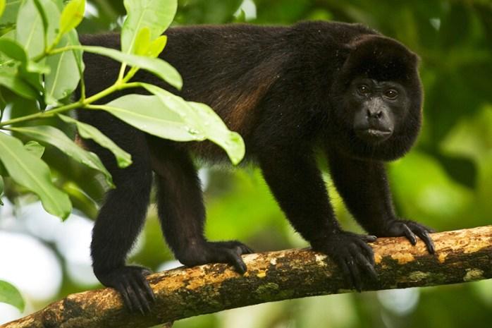 Holwer monkey