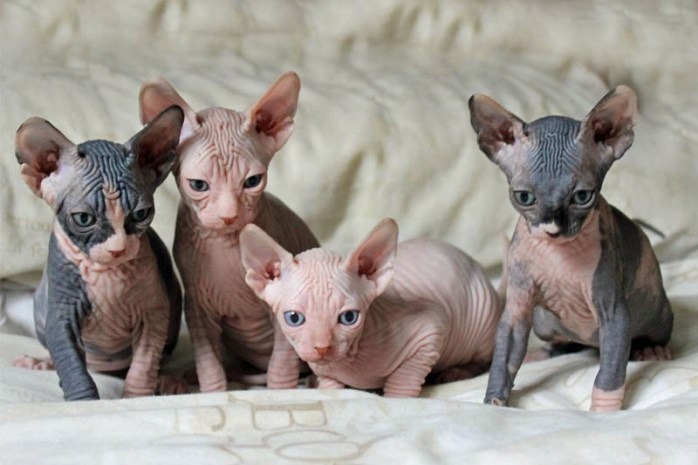 minskin-cat