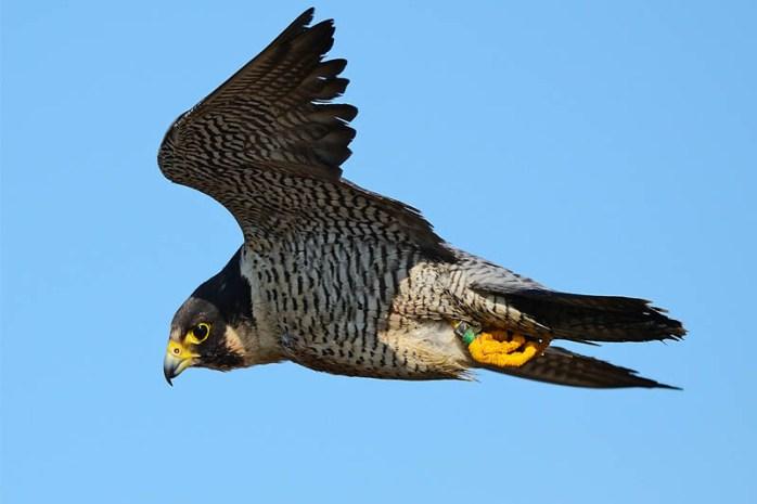 peregrine-falcon-bird