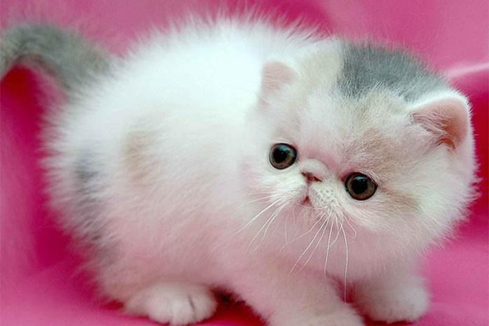 miniature-cat