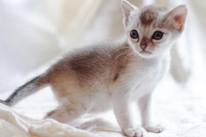 singapura-cat