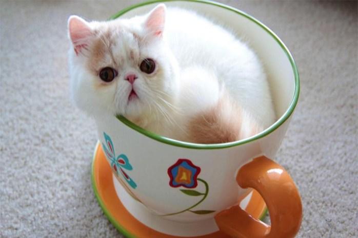 teacup-cat
