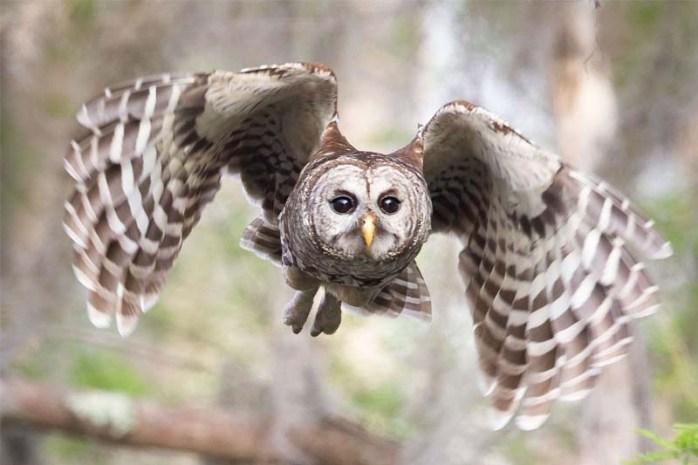 barred-owl-dangerous-birds