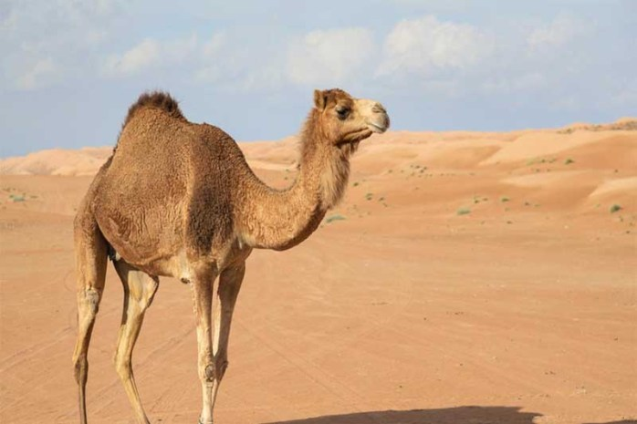 camel-longest-gestation-period