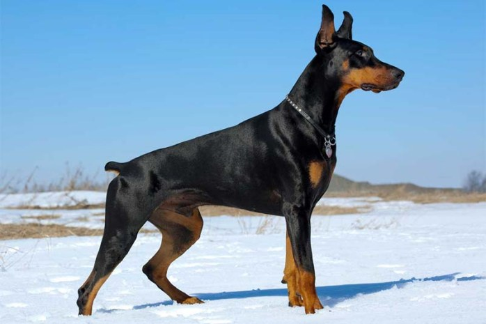 doberman-dog