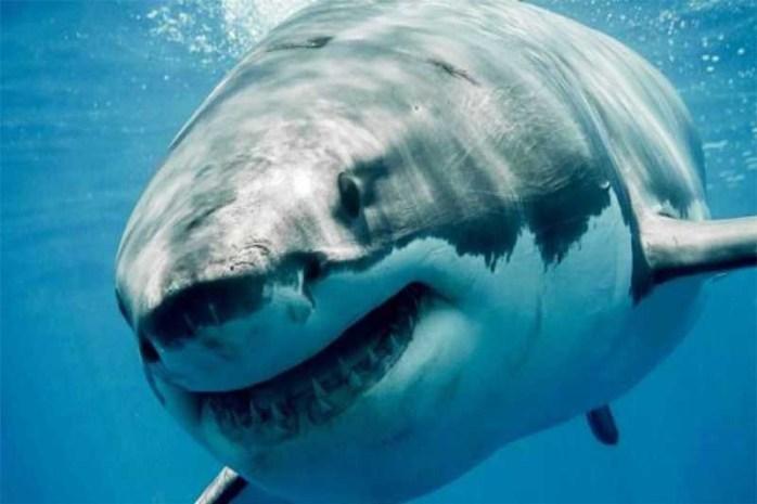 great-white-shark