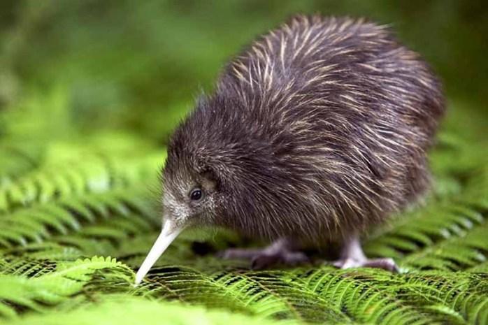 kiwi-flightless-bird