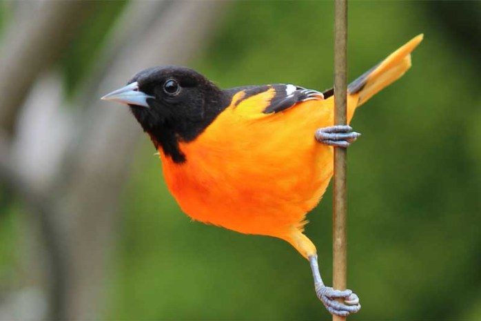 northern-oriole