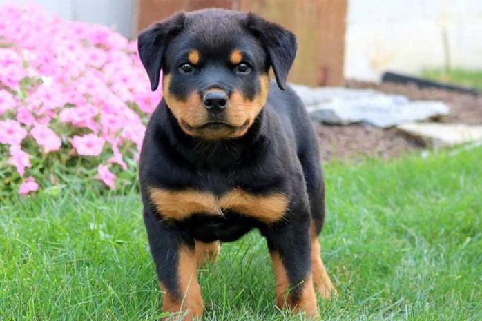 rottweiler-shortest-living-dog