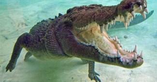 saltwater-crocodile-bite-force