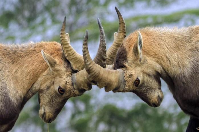 capra-Ibex