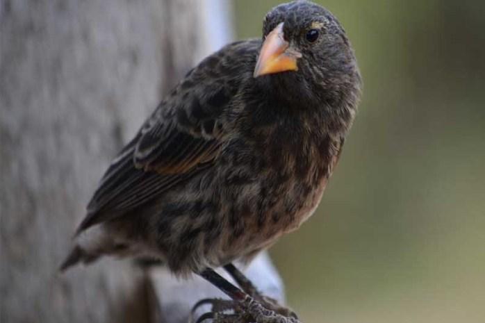darwin's-finches