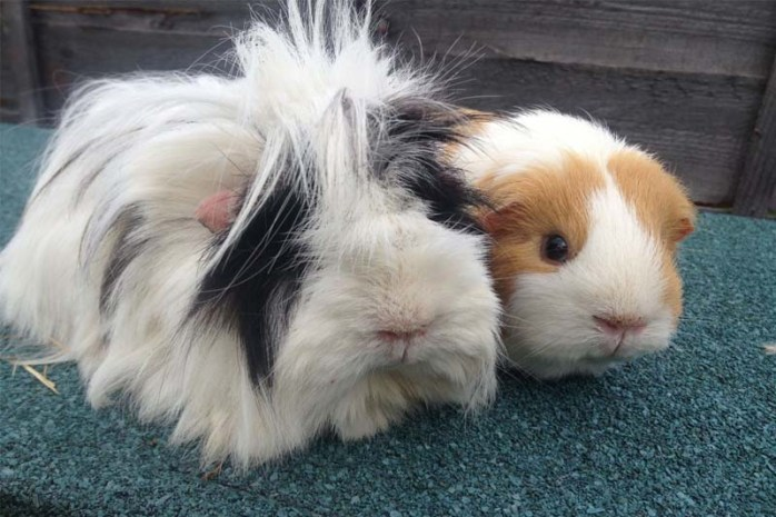 hairy-guinea-pig