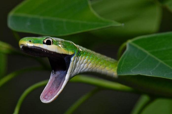 rough-green-snake