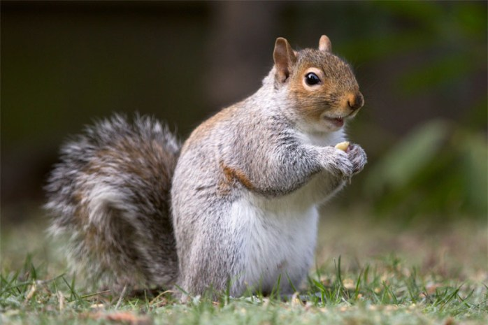 Squirrel-sharpest-animal-thieves