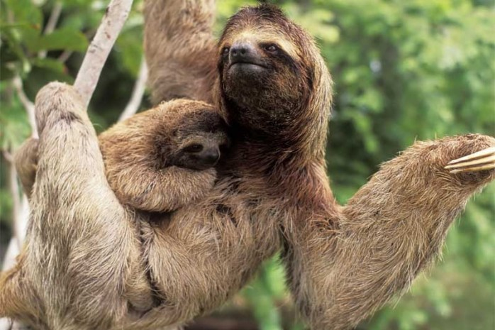 three-toed-sloths
