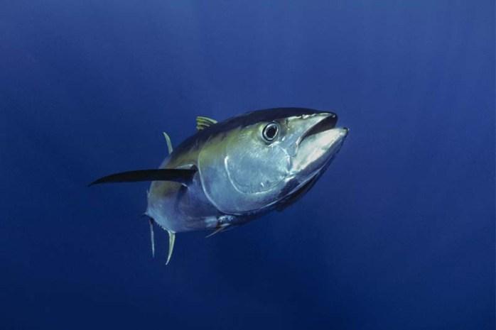 tuna-and-other-fish