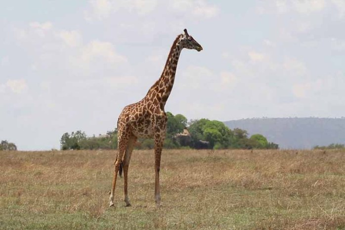 how-tall-is-giraffe