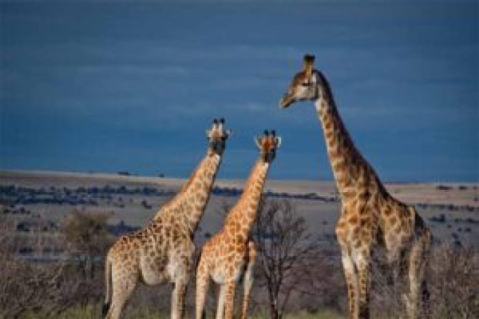 how-many-giraffe-species-exist